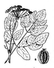 Broad-leaved sermountain (Laserpitium latifolium)