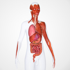 Body with digestive system and muscles