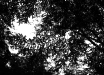 pine, fir, monrohrom