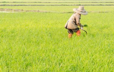 farmer in morning corp grass