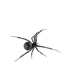 Female Black widow spider isolated on white