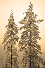 Two high pine trees at the hill. Sepia toned