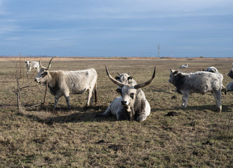 Hungarian grey cattle in pasture in autumn