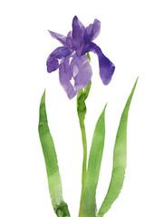 紫色の杜若