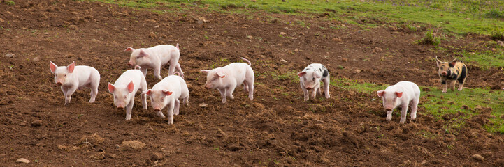 Young cute baby piglets running to camera panoramic view
