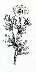 Shrubby cinquefoil (Dasiphora fruticosa)