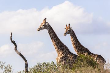 Giraffes Two