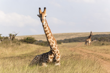 Giraffe Sitting Wildlife