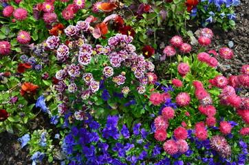 Frühlingsblumen blau-rosa - Akelei Stiefmütterchen Tausendschön