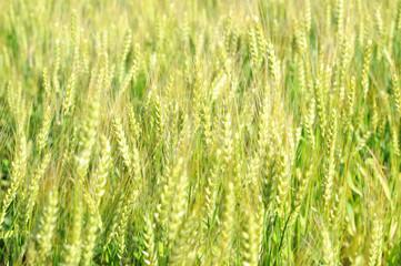 一面の麦畑 新緑 若葉