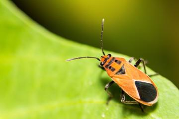 extra soft focus Indian Milkweed Bug, Oncopeltus confusus macro