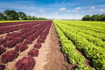 Violette und Grüne Salate Fotoväggar