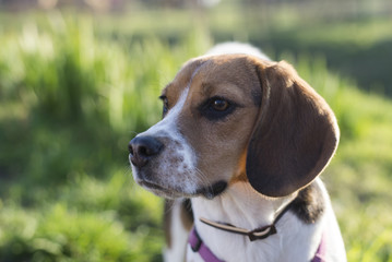 Tricolor beagle dog outdoor sunlit