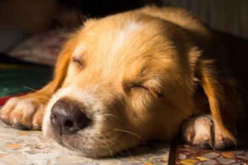 puppy portrait close-up cute dog dozing on floor