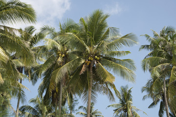 Palm trees with coconuts in blue sky
