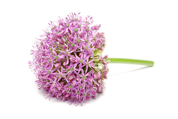 Blooming Purple Allium, onion flower isolated on a white