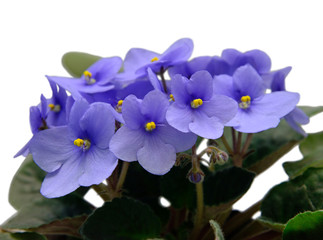 Flowers of Saintpaulia African Violet isolated on white