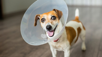 Small dog Jack Russell terrier with vet Elizabethan collar