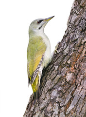 Grey-headed Woodpecker on white
