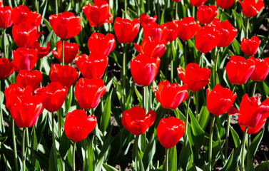 floral background nature green grass and red tulips