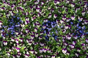 Blumenmeer aus Stiefmütterchen und Vergissmeinnicht