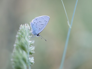 Provencal Short Tailed Blue butterfly - Cupido alcetas. At rest.