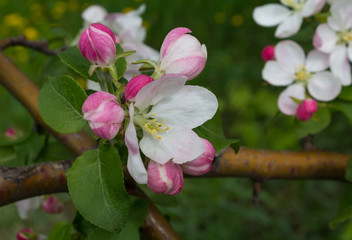 Branch of apple blossom close-up