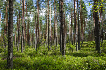 Spring colors in a coniferous forest