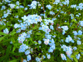 Forget me not flowers in grass