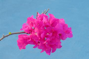 Sprig of pink bougainvillea flower