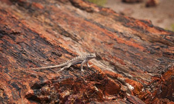 Lizard, Petrified Forest National Park, Arizona.