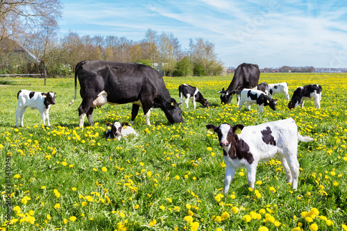 Meadow full of dandelions with grazing cows and calves