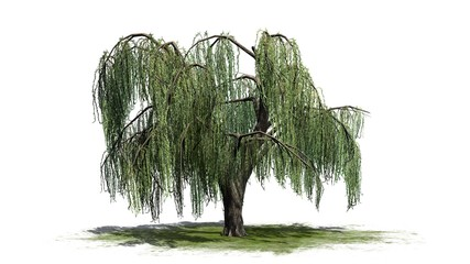 Weeping willow tree - isolated on white background