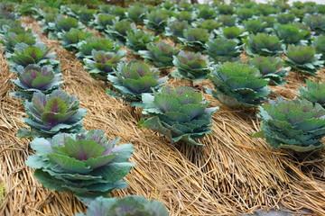 purple cabbage on vegetable plot