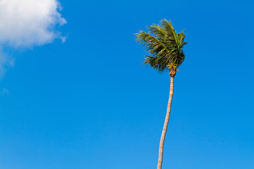 Coconut tree with blue sky in samui island, Thailand