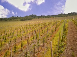 Weinreben an einem Weinberg an der Mosel