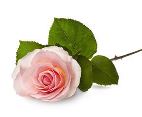 pink rose laying