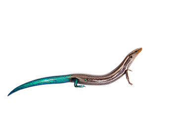 Gran Canaria skink, Chalcides sexlineatus, on white