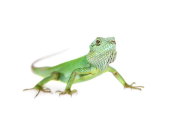 Black lipped Lizard, Calotes nigrilabris, on white