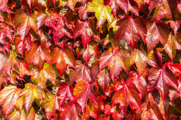 Red ivy close-up