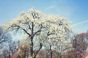 Tree with white flowers in bloom in spring