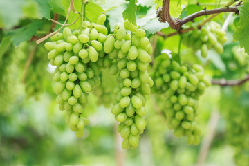 Bunch of fresh green grapes in vineyard