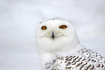 Fotoväggar - The face of a Snowy Owl (Bubo scandiacus)..