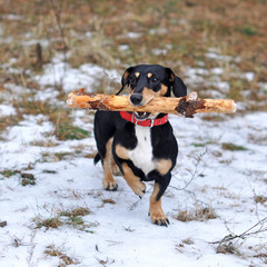 dog with a big stick
