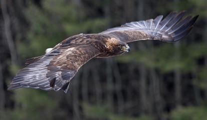 Fotoväggar - A Golden Eagle (Aquila chrysaetos)