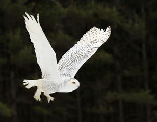 Wall Mural - Gliding Snowy Owl