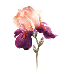 Burgundy watercolor iris flower