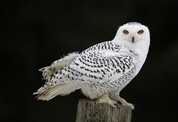 Fotoväggar - Snowy Owl Sitting