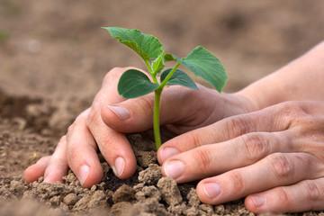Obraz planting seedling of cucumber - fototapety do salonu
