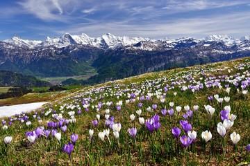 Foto auf Acrylglas Krokusse Krokuswiese bei Interlaken mit Berner Alpen